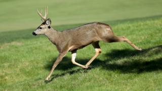 A deer runs across a golf course in Pebble Beach, California.