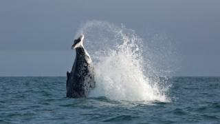 The whale, splashing in the water