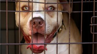 Pitbull seized in raid