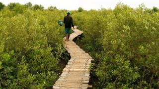 جسر خشبي بين أشجار المانغروف