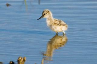 One of Saltholme's avocet chicks