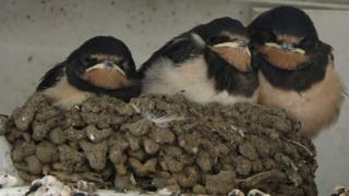 The swallow chicks in the nest
