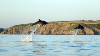 Two dolphins jumping out of the water, one higher than the other