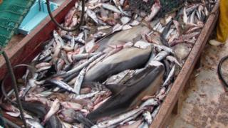 Dolphins among pile of fish