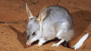 Bilby. File photo
