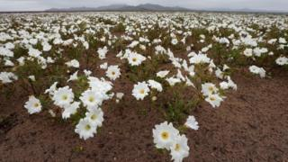 View of flowers in the Atacama Desert, Chile, on 22 August 2017.