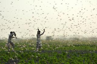 in_pictures Farmers try to scare away a swarm of locusts from a field