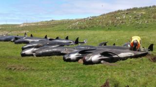 Dead pilot whales on a beach in Chatham Islands, New Zealand