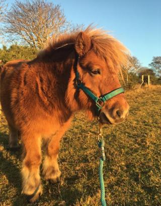 Shetland pony in Plockton, Ross-shire