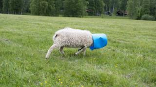 A sheep with a bucket on its head