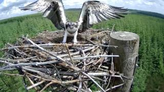 Osprey chick returning to nest after fledging