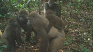 Wildlife Conservation Awareness - Cross River gorillas