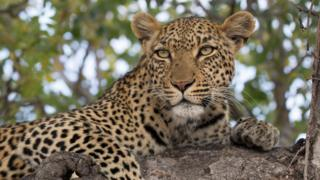 A leopard in a tree at Kruger National Park
