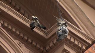 Dead pigeons in netting