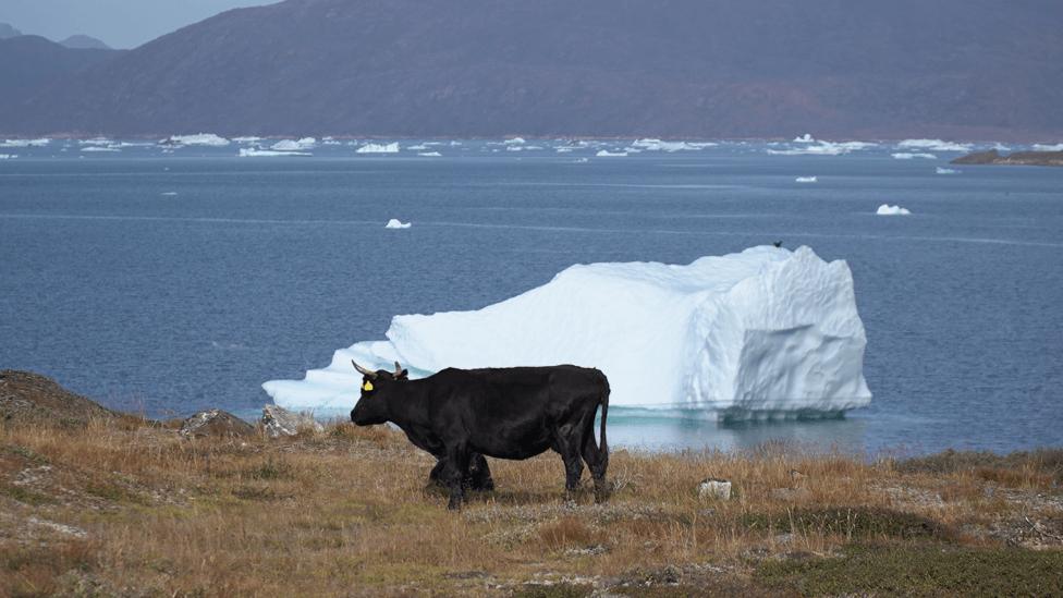 Stoka pase na toplijim delovima Grenlanda