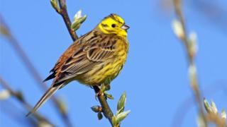 سهره اروپایی یا زردپره لیمویی، پرندهای که نامش را روی برنامهریزیهای دولت بریتانیا برای برگزیت بیتوافق گذاشتهاند