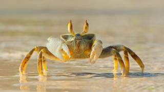 Ghost-crab-on-a-beach.
