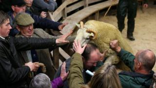 Ram trying to escape auction ring at Lairg