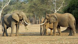 Elephants in Mana Pools, Zimbabwe