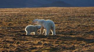 weather The mother of the dead polar bear and her cub