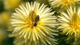मधुमक्खी, शहद पालन, दक्षिण अफ़्रीक़ा