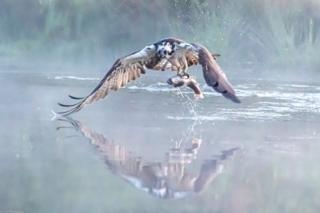 Managed to photography this Osprey over a misty Aviemore pond as it headed home with its breakfast.