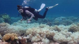 ปะการังฟอกขาวเมื่อน้ำมีอุณหภูมิสูงขึ้น จนทำให้สาหร่ายที่ผลิตสีแยกออกไปจากปะการัง