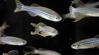 zebrafish in an aquarium
