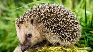 A hedgehog on a stone