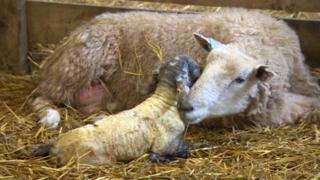 Sheep with new-born lamb