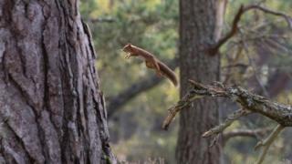 squirrel in Rothiemurchus Forest