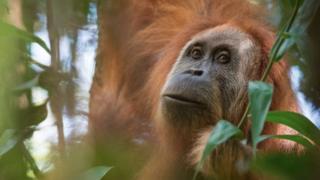 O orangotango Tapanuli, recém-descoberto