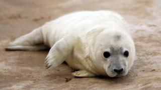 grey seal pup - archive