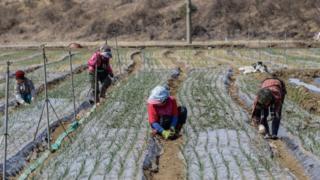 Para petani memanen kentang dan bawah di Hamchang, selatan Seoul (sekitar 170km), Provinsi Gyeongbuk, Korea Selatan, 17 Maret 2018.