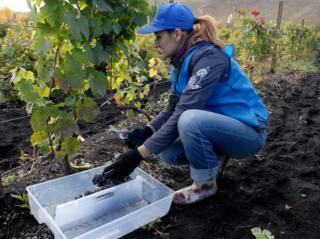 In this picture, a woman wearing wellies, jeans, a baseball cap and gloves picks grapes from the Altai Vine vineyard