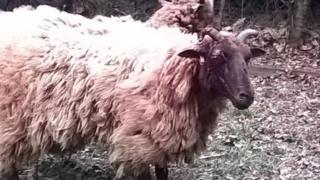 Sheep injured at Alver Valley