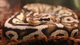 Conservation Africa News - A ball python photographed at the Toronto Christmas Pet Expo