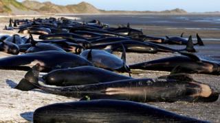 Ballenas encalladas en Nueva Zelanda
