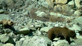 Медведица с тремя медвежатами прошла перед фотоловушкой Мергена