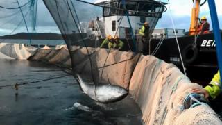 Tuna in crane