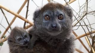 Alaotran Gentle Lemurs