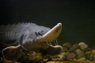 An Atlantic sturgeon in Ilkeston