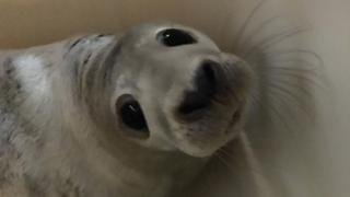Miracle the seal after being rescued