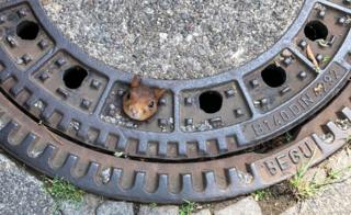 A squirrel with its head stuck in a drain cover