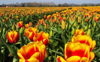 Yellow and orange tulips in west Norfolk field