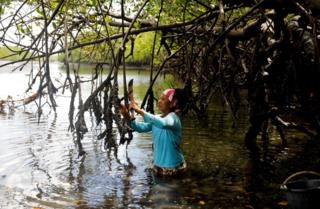 Vandeka, wife of fisherman Jose da Cruz, collecting oysters in a mangrove forest