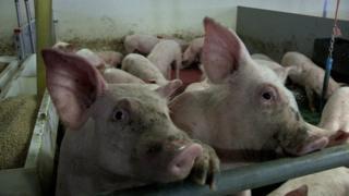 중국은 미국산 돼지고기에 25% 과세 하겠다고 밝혔다
