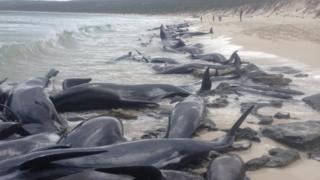 Unas 150 ballenas quedaron varadas en una playa de Perth, en Australia.