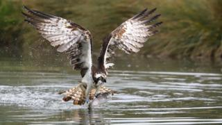 Osprey at Horn Mill Trout Farm