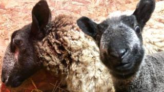 Sheep seems to smile for camera
